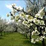 Prunier en fleurs pour illustrer Pâques