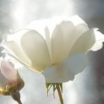 Lisieux - Fleur du jardin