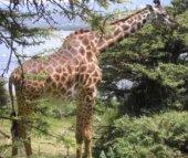 EC Girafe