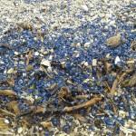 algues_bleues