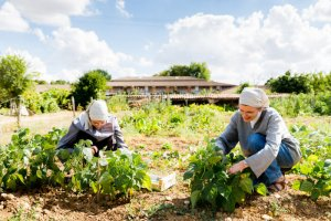 30 août 2016 : Soeur Anne-Delphine et Soeur Dorothée récoltent des haricots verts dans le jardin potager du monastère de l'Annonciation à Prailles (79), Nouvelle-Aquitaine, France.